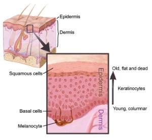 Epidermis-dermis