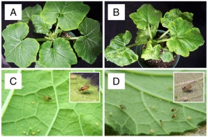 Aphids (winged and wingless forms) on squash plants.